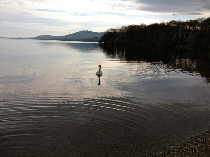 Magic swan in a magic lake